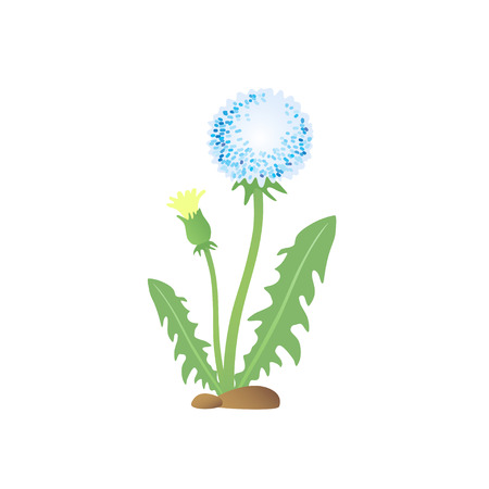 pedicle: Spring Dandelion flower. Garden Dandelion.