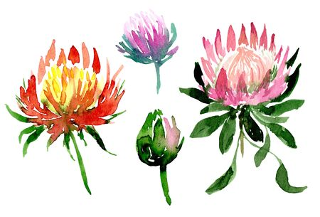 Watercolor red and pink, violet protea flower exotic set. Isolated hand drawn collection 写真素材