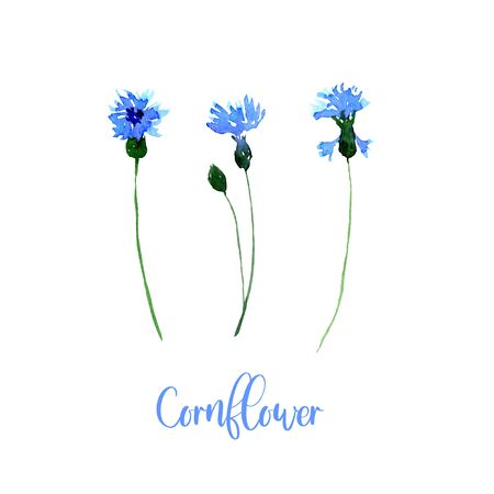 Watercolor blue cornflower set. Collection of hand drawn flowers isolated 版權商用圖片