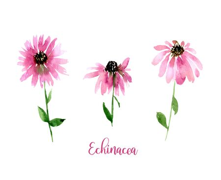 Watercolor pink Echinacea set. Collection of hand drawn flowers isolated. Wild flower illustration.