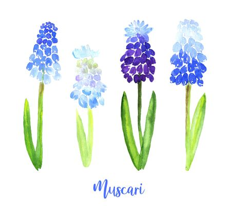 Watercolor Blue Violet Muscari set. Collection of hand drawn flowers isolated. Wild field flower illustration for cards, textile print, fashion, banner, poster.