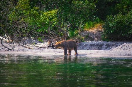 Kamchatka brown bear female and bear cubs catch fish on the Kuril lake. Kamchatka Krai, Russia.