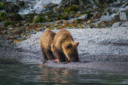 Kamchatka brown bear female and bear cubs catch fish on the Kuril lake. Kamchatka Krai, Russia.
