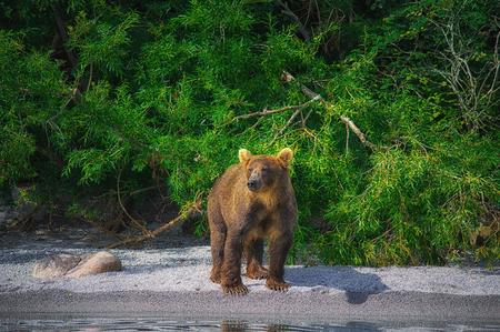 Kamchatka brown bear catches fish on the Kuril Lake. Kamchatka Krai, Russia. Stock Photo