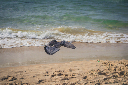 Dove flying to the sea at the Gordon beach. Tel Aviv, Israel