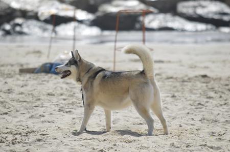 Happy husky dog at the Gordon beach. Tel Aviv, Israel