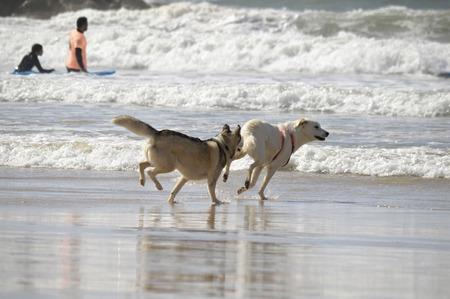 Happy husky dogs and surfers at the Gordon beach. Tel Aviv, Israel.