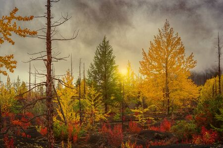 Autumn landscape. Sunset on the background of a recovering forest after the eruption of Tolbachik volcano. Dead forest, Kamchatka, Russia Фото со стока