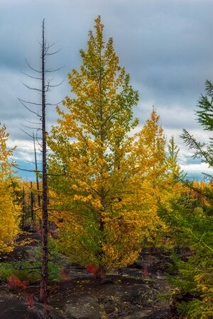 Autumn landscape in Dead Forest, after eruption of Tolbachik volcano. Kamchatka, Russia.