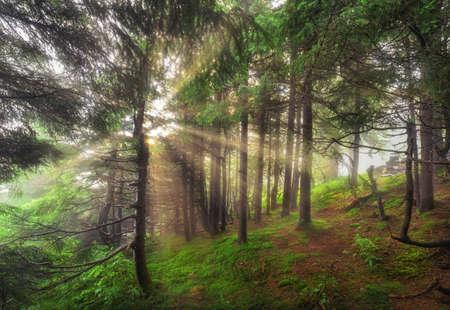 Morning light falls on a forest road. Carpathians, Ukraine.
