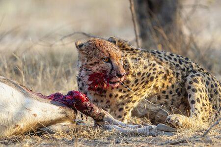 Namibia, Africa. Cheetahs hunting Oryx at Okonjima Reserve