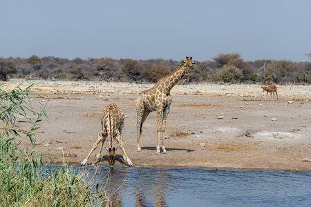 Namibia, Africa. Giraffes at Etosha National Park Фото со стока