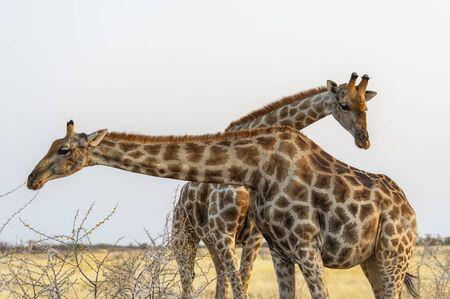 Namibia, Africa. Giraffe at Etosha National Park