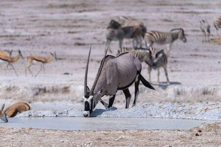 Namibia, Africa. Oryx at Etosha National Park Stockfoto