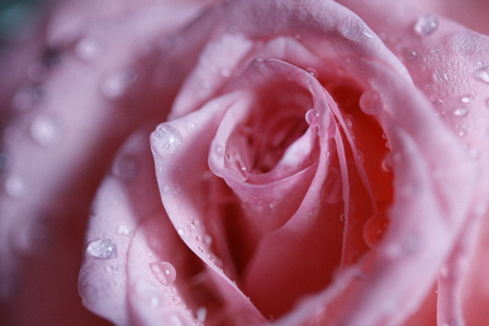 Macro view of pink rose, Pink rose meant for love affection and relationship between couple Stock Photo
