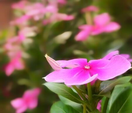 Madagascar periwinkle pink flower with floral background