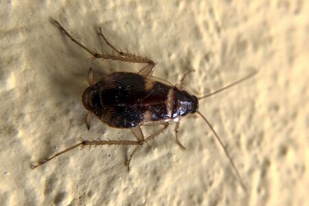 close up view of cockroach on wall its six legs, wings & two antenna on head, brown color