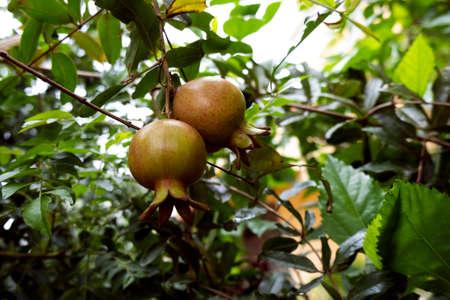 a closeup shot of dalim, anar or pomegranate fruits isolated on tree