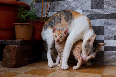 a mom cat cleaning her baby kitten in house