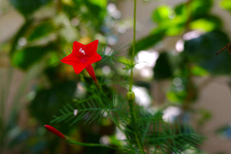 a closeup shot of red cypress vine (Ipomoclit species) flower & buds isolated on plant in garden 免版税图像