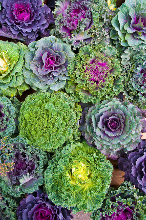 flowering kale: Ornamental cabbages; Winter flowers