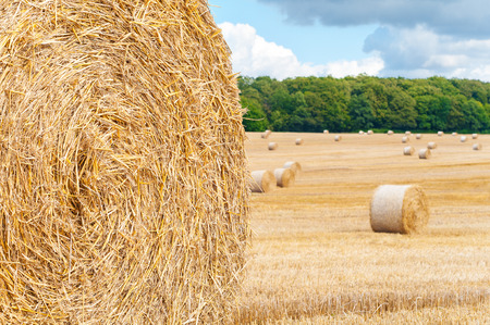 harvest time: Round bales of straw on cut grain field; Harvest time Stock Photo
