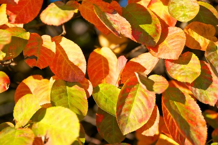 autumn motif: Autumnal colored leaves of juneberry in sunshine