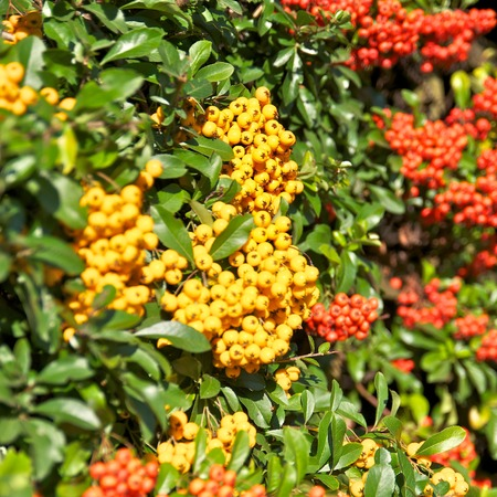 conspicuous: Firethorn shrub with abundance of yellow and red berries Stock Photo