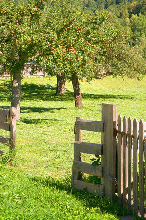 late summer: Meadow orchard with apple trees and wooden fence in late summer