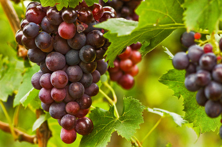 bunches: Bunches of sun-ripened blue grapes on vine Stock Photo