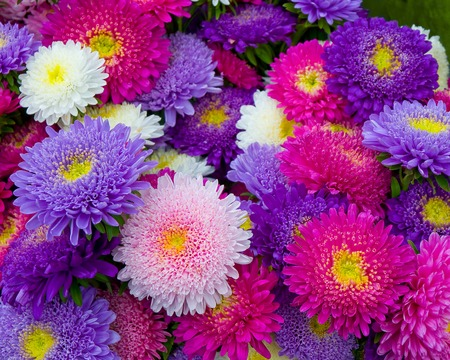 Bunch of asters in shades of pink and purple