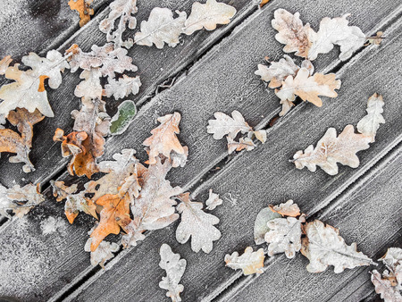frost winter: Oak leaves on wooden planks covered with white frost; Winter is coming