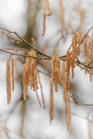 hazelnut tree: Hazel branch with light brown catkins with blurred bright background; First sign of spring