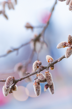 transitional: Branch with soft pussy willows with bokeh background in pastel shades; Springtime greetings Stock Photo