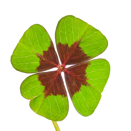 fourleaved: Four-leaf clover on white background