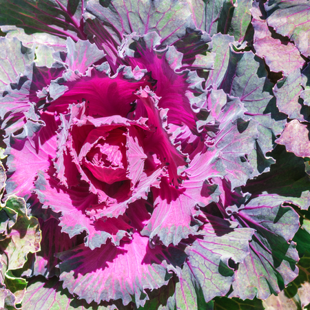 flowering kale: Purple Ornamental cabbage in close up; Flower garden in winter Hanes