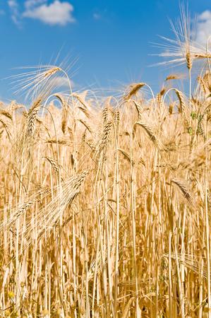 cultivable: Close up view of golden barley stalks in sunshine on blue sky