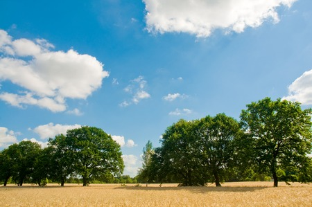 fruitful: Landscape with ripe grainfield, green trees under sunny blue sky with clouds some Stock Photo