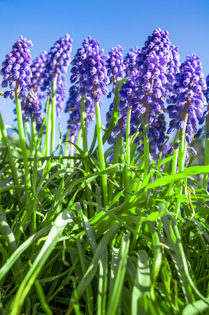 flourished: Grape hyacinths in worms eye view against clear blue sky