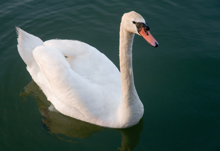 space for type: Single Mute Swan in greenish blue water in close-up Stock Photo