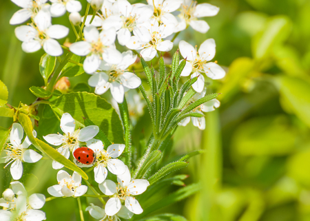 lady bug: Little lady bug on small white spring blossoms Stock Photo