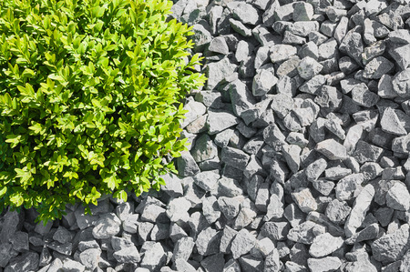 box tree: Box tree ball in graveled area in close up from above; Simple landscaping; Garden gravel Stock Photo