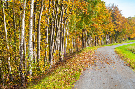 off path: Sunny autumn day; Bike path at the edge of a birch forest; Autumn scenery; Local recreation area; Deciduous forest with autumn foliage