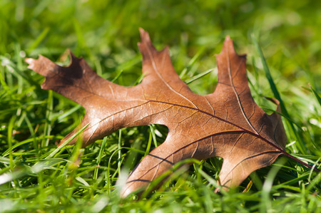 transitional: Single withered brown oak leaf on green grass in close up; Changing seasons; Transience