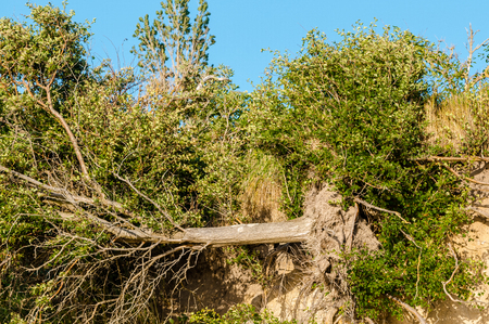 sandy soil: Disrooted tree and bushes at steep coast; Result of soil erosion on the coast Stock Photo