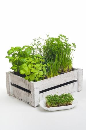 cebollines: Varias hierbas culinarias populares en una caja de madera contra el fondo blanco; jardín de especias para la cocina