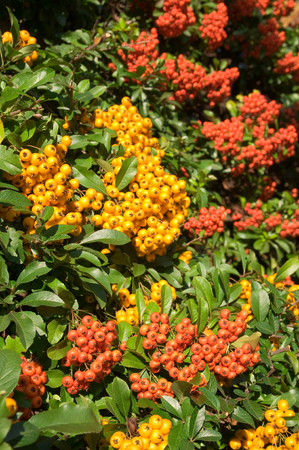 ornage: Yellow and ornage berries of firethorn; Pyracantha; Evergreen shrub with colorful berries