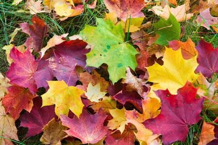 Colorful fall foliage; Green, red and yellow maple leaves on the grass; Autumn colors Stock Photo