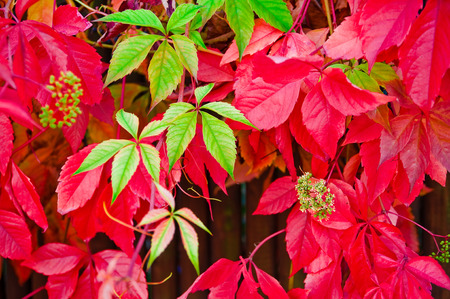 tendrils: Red and green leaves of ivy; Climbing plant in autumnal coloring; Parthenocissus quinquefolia Stock Photo