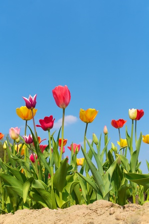 Colorful flowering tulips in sandy ground against clear blue sky; Spring flowers; Vernal greeting card Stock Photo